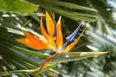 Strelitzia Reginae flower closeup Royalty Free Stock Photos