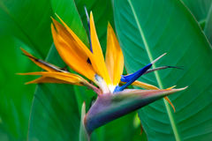 Strelitzia Reginae flower closeup. (bird of paradise flower Stock Image
