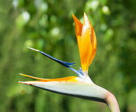 Strelitzia reginae flower Royalty Free Stock Image