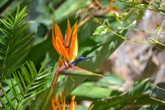 Strelitzia reginae flower Stock Images