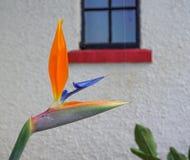 Strelitzia reginae flower stock photography