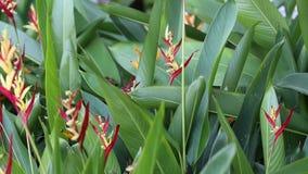 Strelitzia reginae in Garden at Phu Quoc Island, Kien Giang province, Vietnam. Strelitzia reginae, Phu Quoc island, Kien Giang province, Vietnam. Phu Quoc is stock video