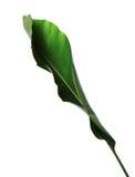 Strelitzia reginae, Heliconia, Paradiesvogel Laub lokalisiert auf weißem Hintergrund lizenzfreie stockfotos