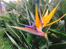 Strelitzia reginae ist eine monocotyledonous Eingeborene der blühenden Pflanze Stockbild