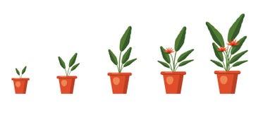 Strelitzia reginae, kwiat lub ptak raj, Roślina przyrosta sceny Zieleń liście, pomarańcze i fiołkowy okwitnięcie bukiet, royalty ilustracja