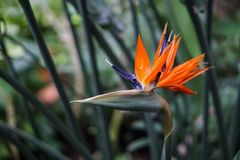 Strelitzia Reginae kwiatu buird raju kwiat na zieleni opuszcza tło obrazy stock