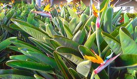 Strelitzia Reginae kwiatu ptak raju kwiat Madery wyspa obrazy royalty free