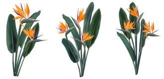 Strelitzia Reginae kwiatu tropikalni bukiety ustawiający royalty ilustracja