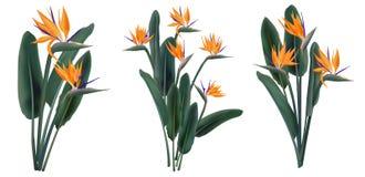 Strelitzia Reginae kwiatu tropikalni bukiety ustawiający ilustracji
