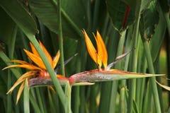 Strelitzia reginae lub ptak raj Fotografia Royalty Free