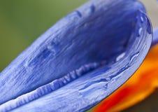 Strelitzia Reginae lub 'ptak raj' roślina Obrazy Royalty Free