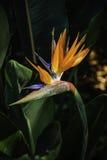 Strelitzia Reginae lub ptak raj roślina Fotografia Stock