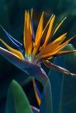 Strelitzia reginae. Mm Stock Photos