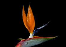 Strelitzia reginae is a monocotyledonous flowering plant indigenous to South Africa. Royalty Free Stock Image