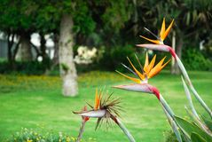 Strelitzia reginae in Namibia Stock Photos