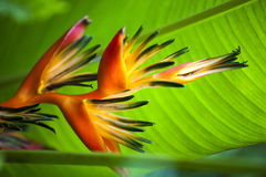 Strelitzia Reginae Orange Flower. On Green Leaf Background stock photos