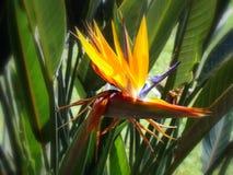 Strelitzia reginae (Paradiesvogel) Blume stockfotografie