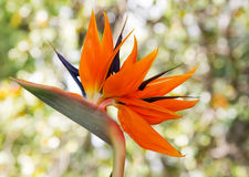 Strelitzia Reginae. Perennial native to South Africa Royalty Free Stock Photo