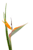 Strelitzia Reginae and reed Royalty Free Stock Image