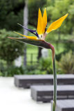 Strelitzia reginae są jednoliściennym kwiatonośnym rośliną Fotografia Stock