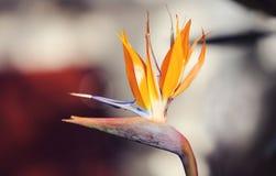Strelitzia reginae Royalty Free Stock Image