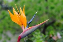 Strelitzia reginae single flower. Blooming at garden in Dalat, Vietnam Royalty Free Stock Photography