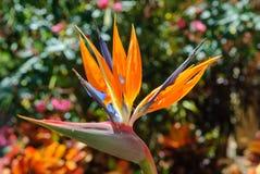 Strelitzia reginae. A typical tropical flower of Tenerife, Spain Royalty Free Stock Photo