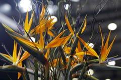Strelitzia reginae. Yellow strelitzia reginae flower in the room Stock Photos