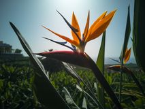 Strelitzia reginae an exotic tropical flower at La Palma. stock photos