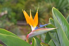 Strelitzia - traditional flower of Madeira island. Sunny summer day Stock Photos