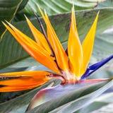 Strelitzia tropical de fleur, oiseau du paradis, île de la Madère, Fu Photo libre de droits