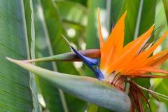 Strelitzia tropical de la flor Foto de archivo