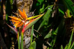 Strelitzia. Tropical plant with orange flower. Royalty Free Stock Image