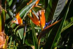 Strelitzia. Tropical plant with orange flower. Stock Images