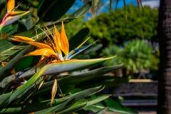 Strelitzia. Tropical plant with orange flower. Royalty Free Stock Photos