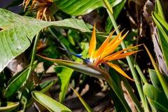 Strelitzia. Tropical plant with orange flower. Royalty Free Stock Photo