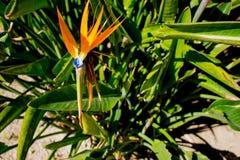 Strelitzia. Tropical plant with orange flower. Stock Photos
