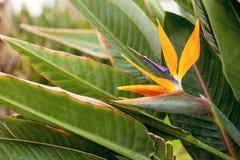 Strelitziabloem op groene natuurlijke achtergrond stock afbeeldingen