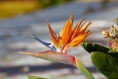 Strelitziablomma i solen royaltyfria foton
