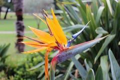 Strelitziablume sieht wie ein Vogel ` s Kopf aus stockfoto