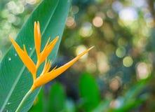 Strelitziaceae цветка райской птицы Стоковое Изображение RF