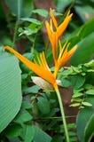 Strelitziaceae цветка райской птицы Стоковая Фотография RF