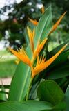 Strelitziaceae цветка райской птицы Стоковые Изображения
