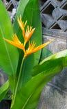 Strelitziaceae цветка райской птицы Стоковые Фото