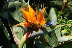 Strelitzie - цветение птицы рая - Strelitziaceae Стоковое Изображение