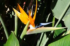 Strelitzie - цветение птицы рая - Strelitziaceae Стоковое Изображение RF