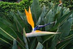 Strelitzie - цветение птицы рая - Strelitziaceae Стоковые Фотографии RF