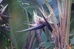 Strelitzie - Paradiesvogelblüte - Strelitziaceae stockfoto