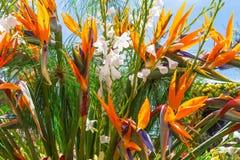 Strelizia o uccello del fiore di paradiso Funchal, Madera, Portogallo Fotografia Stock Libera da Diritti