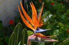 Strelizia, uccello del fiore di paradiso dal giardino fotografie stock